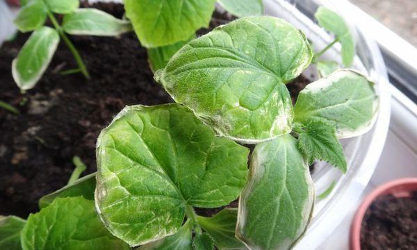 Желтеют и сохнут листья у рассады