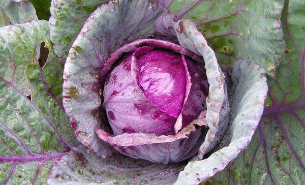 Ранние сорта краснокочанной капусты