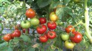 Что можно сажать после помидор и после чего можно сажать помидоры