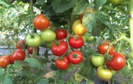 Что сажать после помидоров