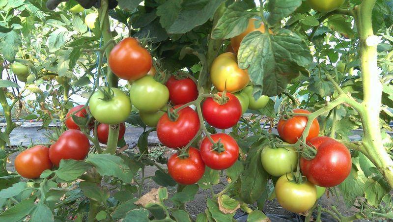 С чем не сажают помидоры 788