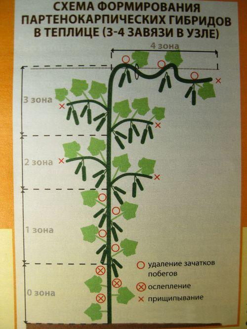 Формирование партенокарпических огурцов
