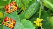 Подкормка огурцов дрожжами для хорошего урожая