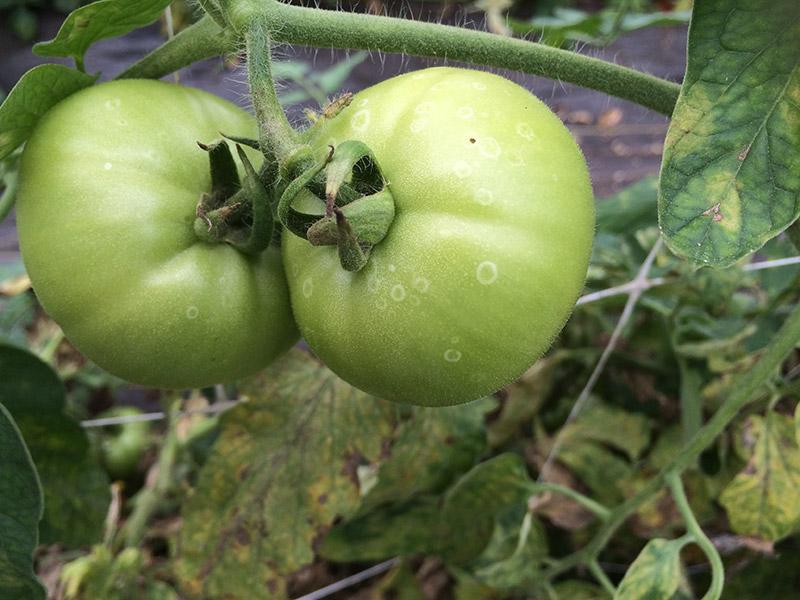 Ботритиозная пятнистость плодов томата