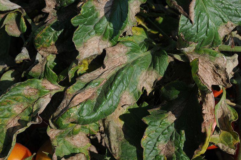 Фитофтора на листьях томата