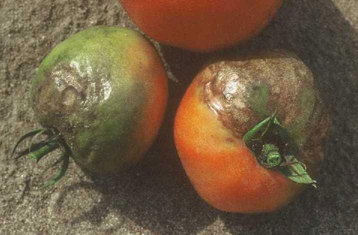 Фитофтора на плодах томата