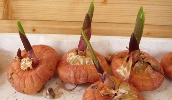Луковицы гладиолусов с ростками