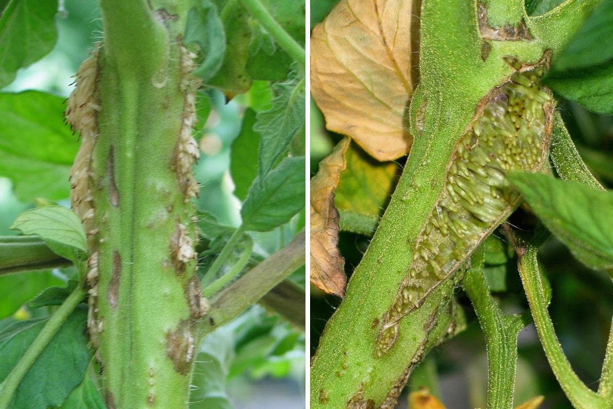 Некроз стебля томата - придаточные корни