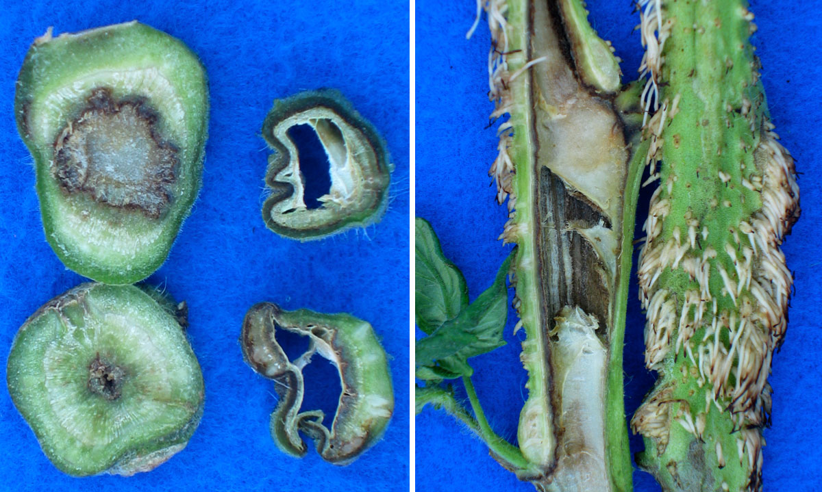 Некроз стебля - в центре гниющая ткань