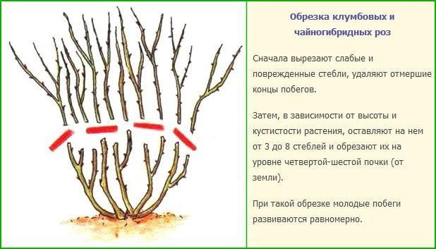 Обрезка чайногибридных роз