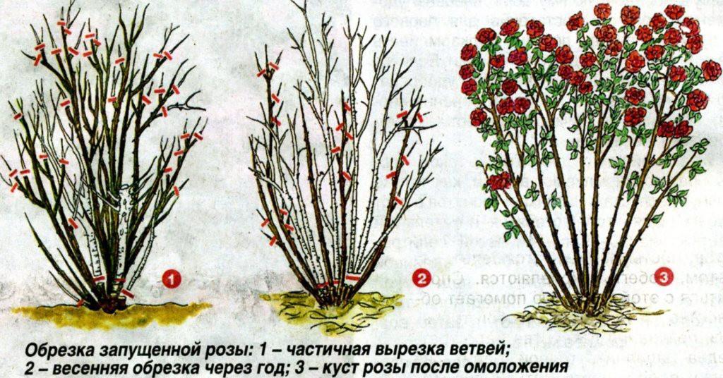 Обрезка запущенной розы