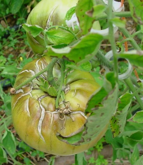 Помидор с трещинами роста на плодах