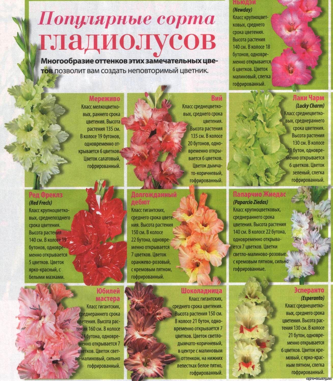 Популярные сорта гладиолусов