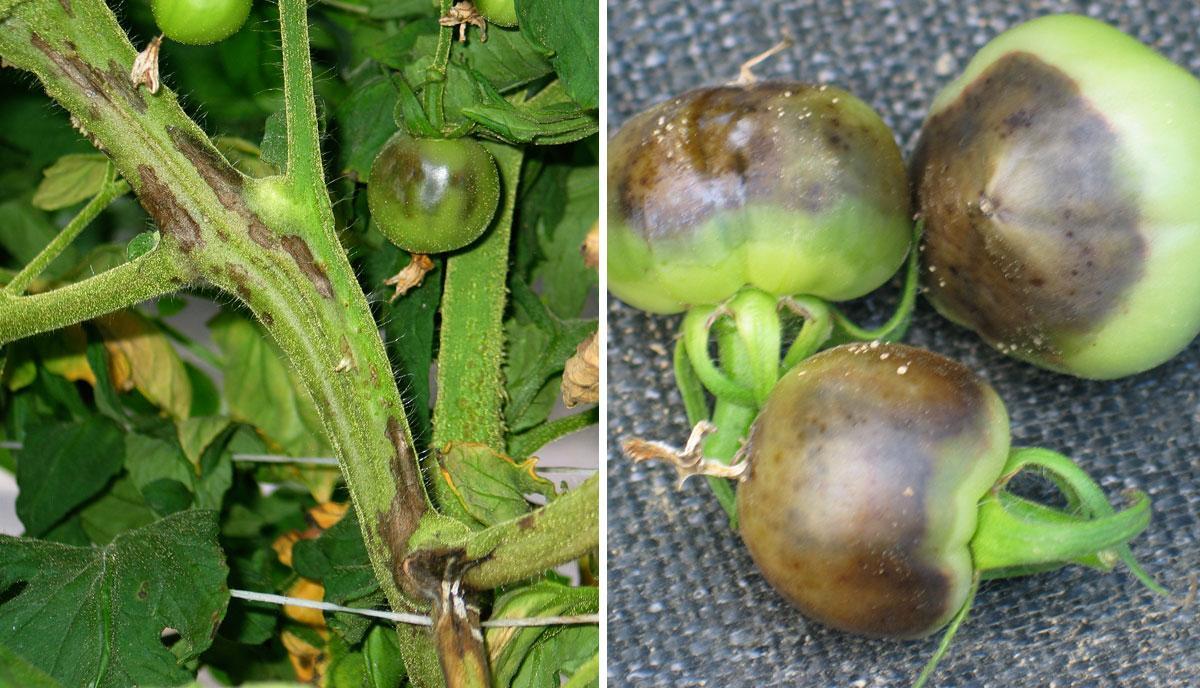 Поражение плодов при некрозе стебля
