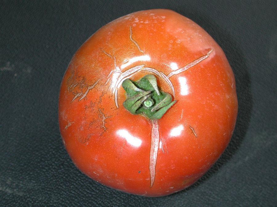 Растрескивание томата