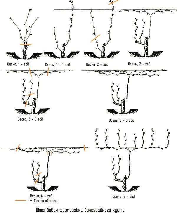 Штамбовая формировка виноградного куста