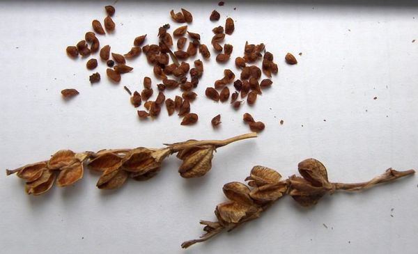 Семена гладиолусов