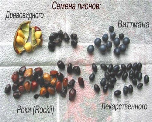 Семена пиона