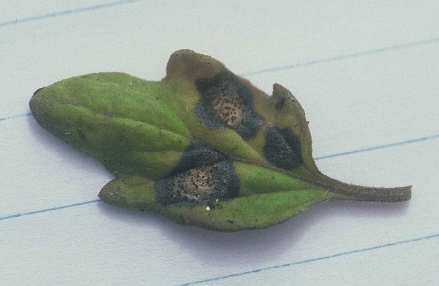 Септориоз на листьях томата крупным планом