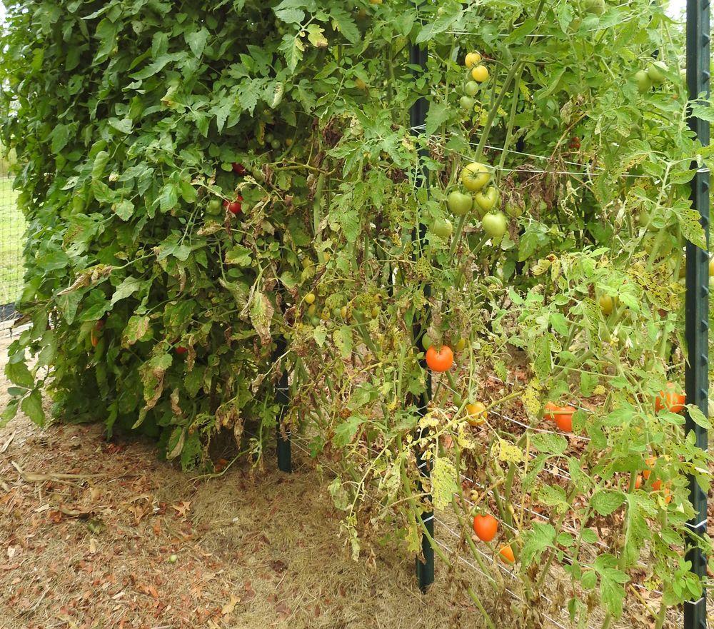 Септория на нижних листьях куста томата