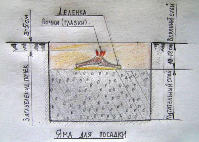 Схема посадки пиона весной в грунт