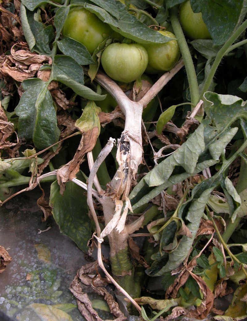 Склероция на стебле томата