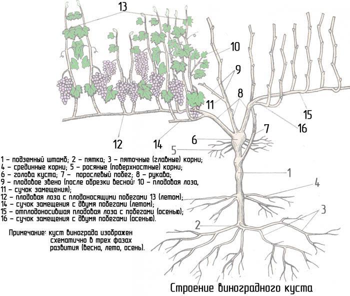 Строение виноградного куста
