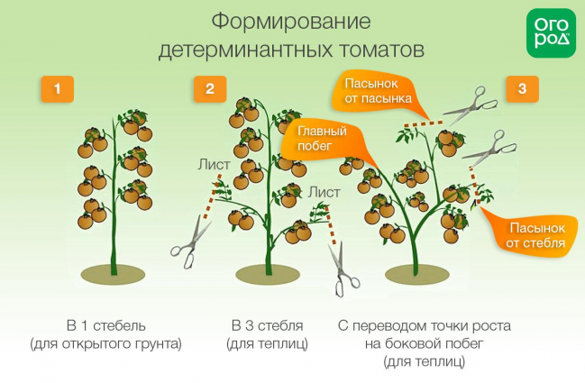 Формирование детерминатных томатов