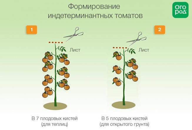 Формирование индетерминатных томатов