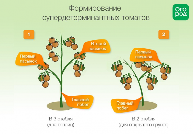 Формирование супердетерминатных томатов