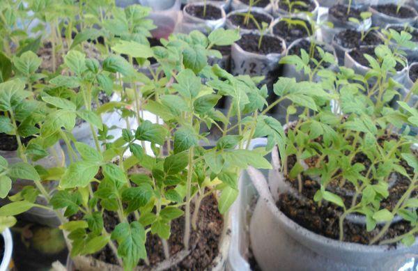 Рассада томатов в улитках
