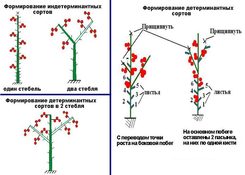 Схема формирования различных разновидностей томатов