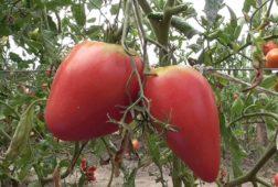 Сорт томатов Чудо земли
