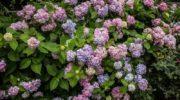 Подкормка гортензии весной, летом, осенью