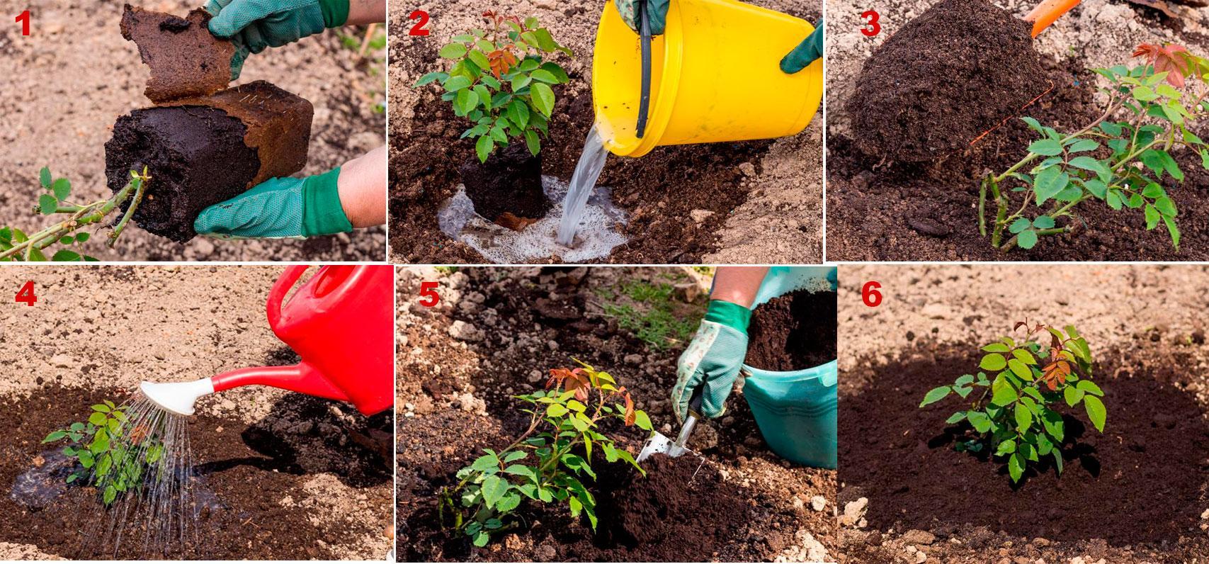 Этапы посадки саженца розы