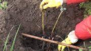 Когда пересаживать пионы - осенью или весной? И как правильно это делать