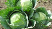 Когда убирать капусту с огорода (все разновидности)