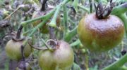 Почему чернеют помидоры - плоды, листья, стебель. Что с этим делать