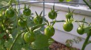 Почему не краснеют помидоры - обзор проблем и их решения