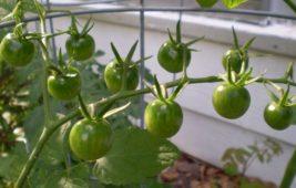 Почему не краснеют помидоры