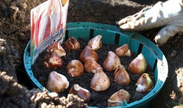 Посадка тюльпанов в емкости