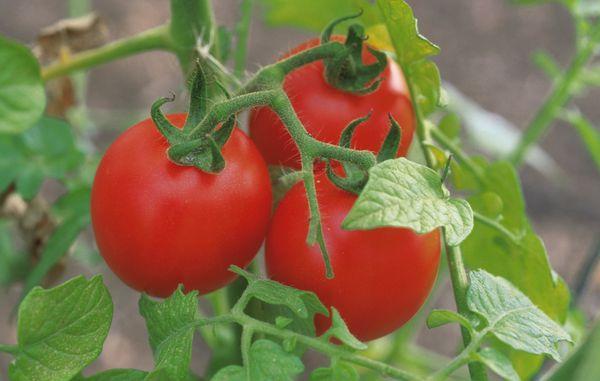 Созревшие томаты на кусте
