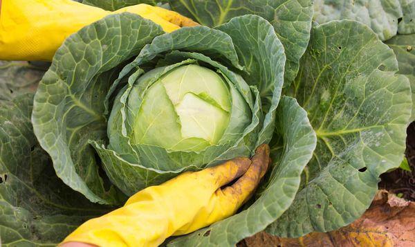 Уборка белокочанной капусты