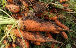 Уборка моркови на хранение