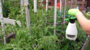 Внекорневая подкормка помидоров
