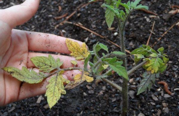 Желтые листья у томата