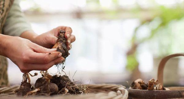 Женщина очищает луковицы тюльпанов