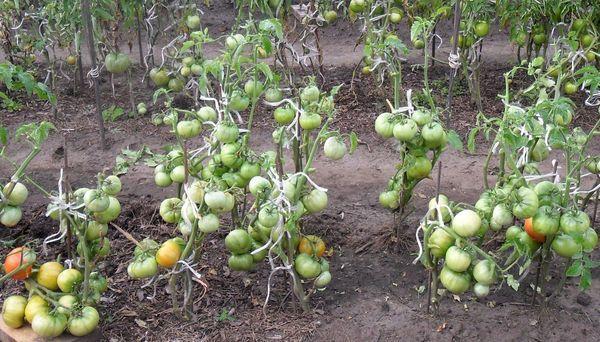 Зеленые томаты на кустах