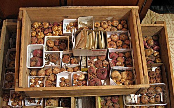 Хранение луковиц гладиолусов в коробках