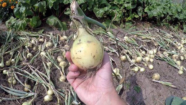 Луковица в руке после сбора урожая